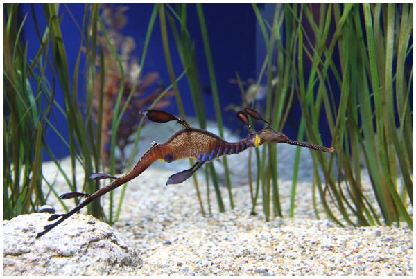 Seahorses at the Monterey Bay Aquarium