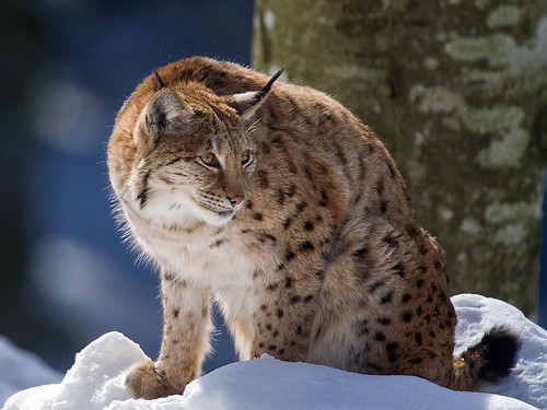 Lynx_2