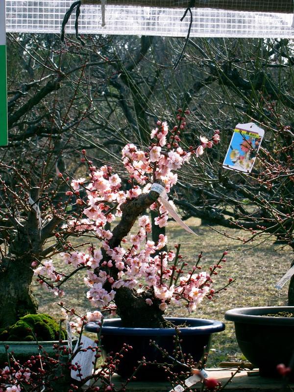 Sakura for sale!
