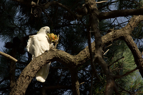 Sulphur-crested Cockatoo enjoying a pine cone 2012-03-04 (_MG_4109)