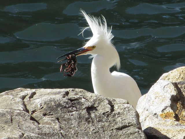 A heron with its catch - crawdads for lunch!