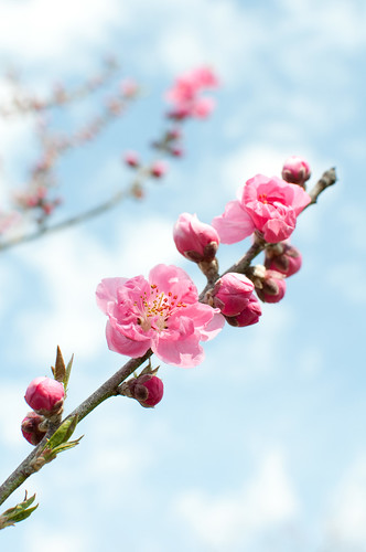 Peach in bloom by inoc