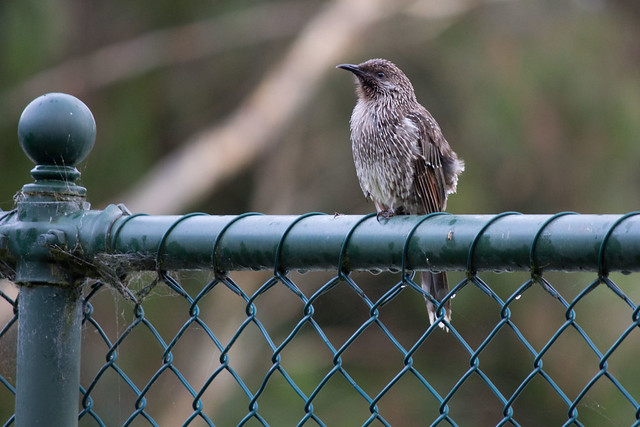 Immature Little Wattlebird 2012-02-19 (_MG_3124)
