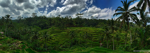 Tegallalang Rice Terraces by Scholesville