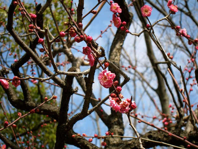 Plum blossoms! :)