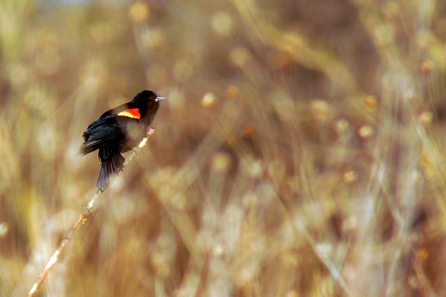 Redwing Black Bird