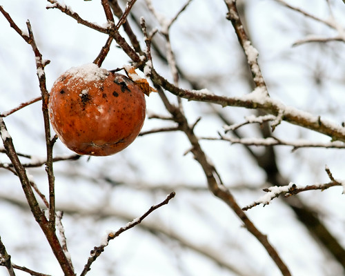 Apple on snowy branch
