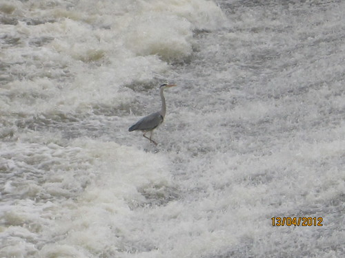 Heron in the weir