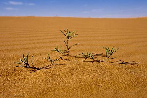 Desert plant by TARIQ-M