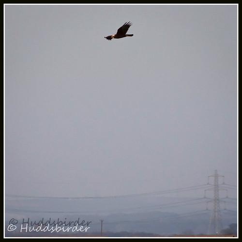 Marsh Harrier ♀