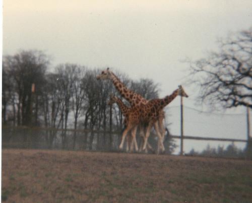 Giraffe at Longleat