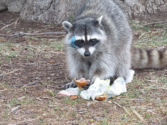 raccoon eating subway- a new mascot maybe- point vicente