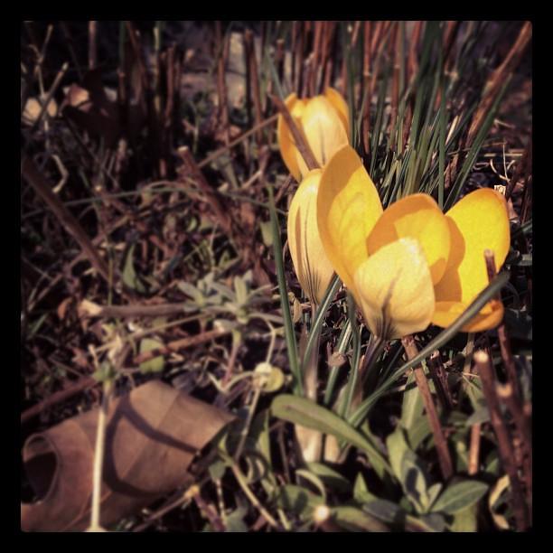 Yellow crocuses. #signsofspring