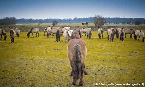 Wilde paarden natuurpark Lelystad (04-03-2012).