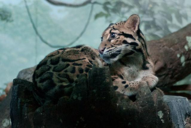 Clouded Leopard Nest