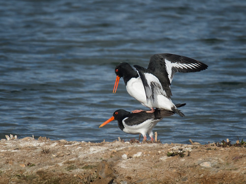 Oystercatchers spring mating
