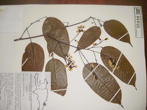 Pterocarpus officinalis