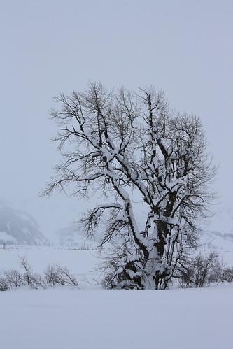 Tree Alaska