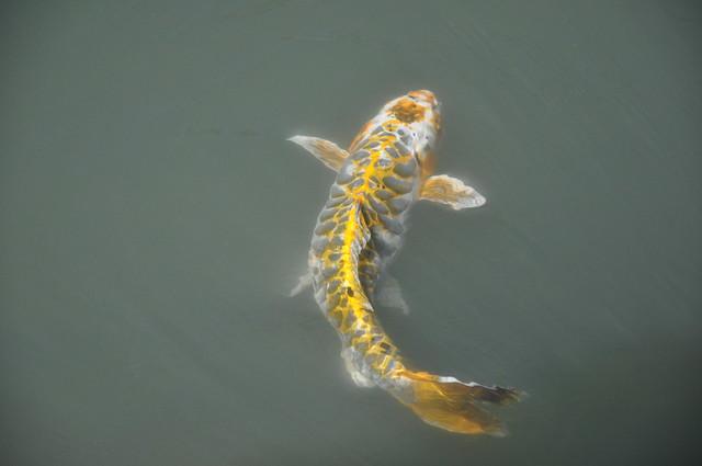 Gold Koi Fish