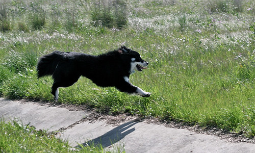 1 April 2012 Leaping Lapphund!