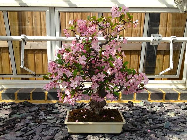 Kew Gardens bonsai