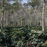03 Viajefilos en Laos, Bolaven Plateau 29