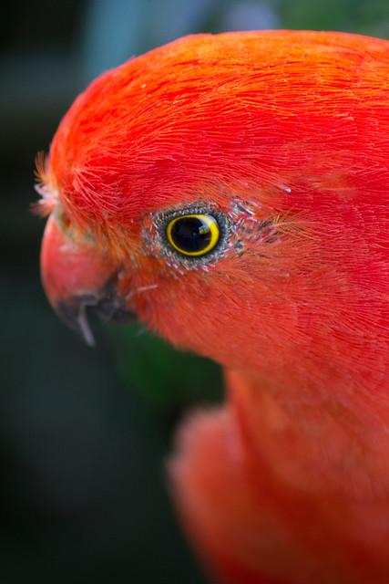 Australian King Parrot (male) 2012-02-17 (_MG_2780)