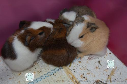 piggie quadruplets