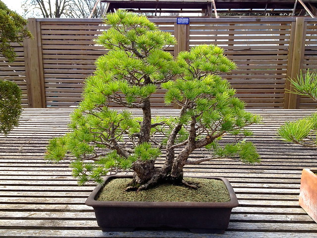 Kew Gardens bonsai