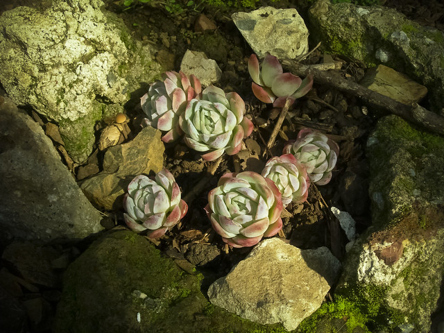 hens and chicks = echeveria