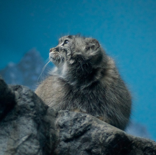 Pallas Cat Gazes Into the Distance