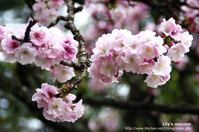美麗的櫻花...光是欣賞就覺得很棒了。
