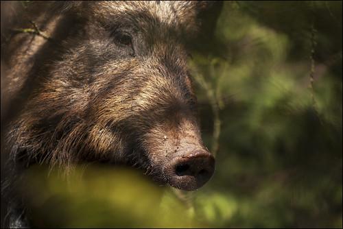 Wild Boar, Forest of Dean by Ben Locke (Ben909)
