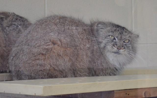 Pallas Kitten