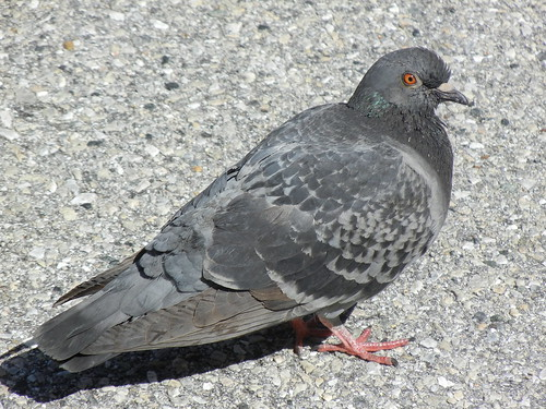 Pigeon by GoDebby
