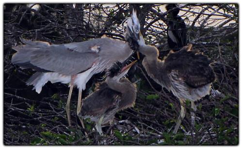 Heron Feeding - Wurdemann's