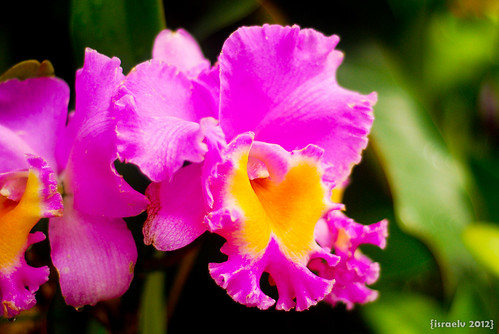 Cattleya by {israelv}