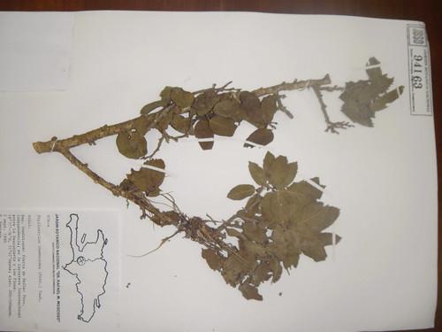 Phyllostylon rhamnoides