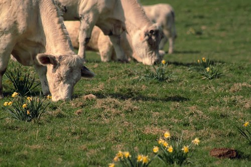 90/366...Le lait est couleur Jonquille ;)) / Milk with Dafodills flavor ;))