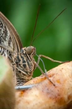 Owl butterfly feeding
