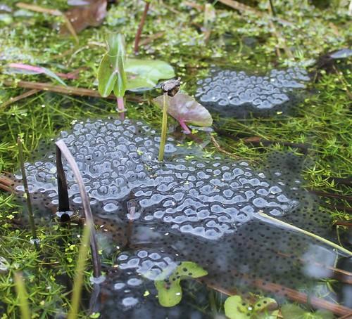 frogspawn