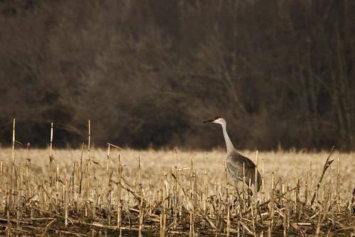 cranes 091
