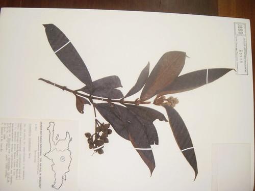 Gomidesia lindeniana