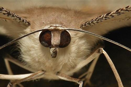 Tropical Swallowtail Moth (Lyssa zampa, Uraniidae)