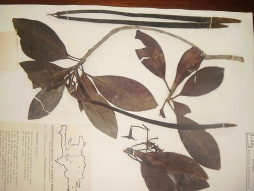 Rhyzophora mangle