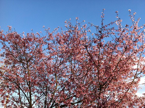 Early Cherry Blossoms
