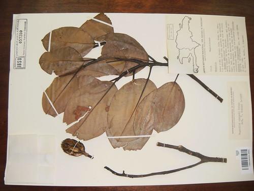 Magnolia  eckmani
