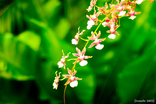 Tiny Orchids by {israelv}