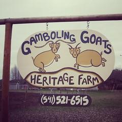 Gamboling Goats