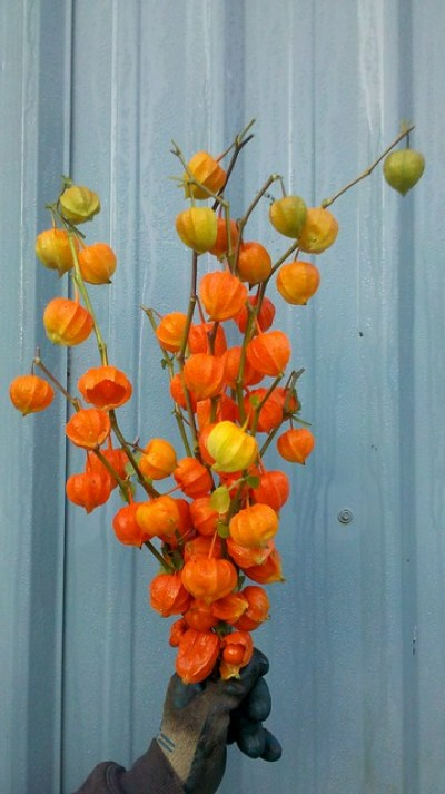 chinese lanterns physallis